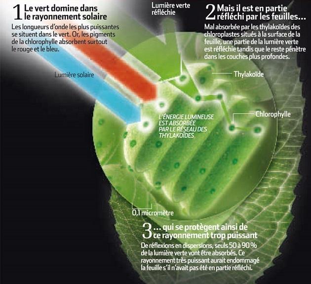 Comment les feuilles interagissent avec la lumière : en absorbant certaines radiation et en en réfléchissant d'autres. / Crédit : Science&Vie, 2011