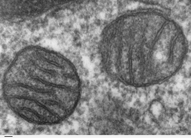 Image au microscope électronique à transmission d'une coupe de tissu pulmonaire de mammifère, où l'on voit une mitochondrie. La barre horizontale représente 50 nanomètres. /  Ph. Louisa Howard, domaine public, via Wikimedia Commons.