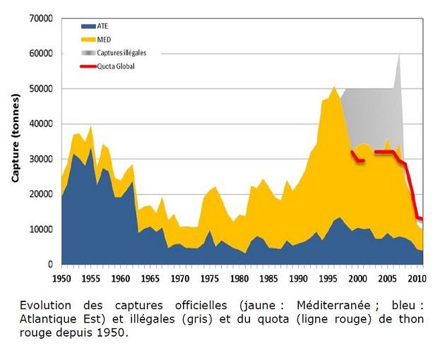Evolution des captures de thon rouge (d'après l'Ifremer). Lors de l'instauration des quotas à 30 000 tonnes, la pêche s'est en réalité maintenue aux niveaux précédents, soit 50 000 t environ.