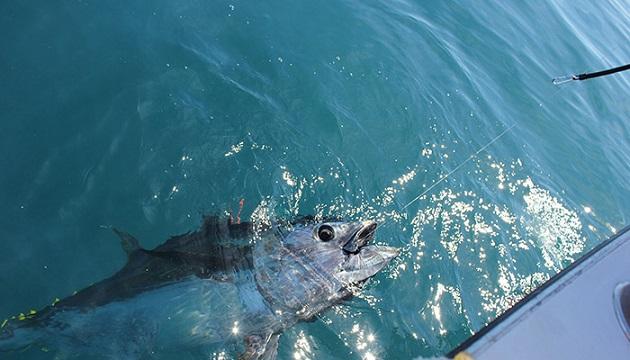 Pêche au thon rouge à la ligne. Le gros des prélèvements se fait par la pêche à la senne. / Ph. Xiphias BGF  via Wikimedia Commons - CC-BY-SA-3.0