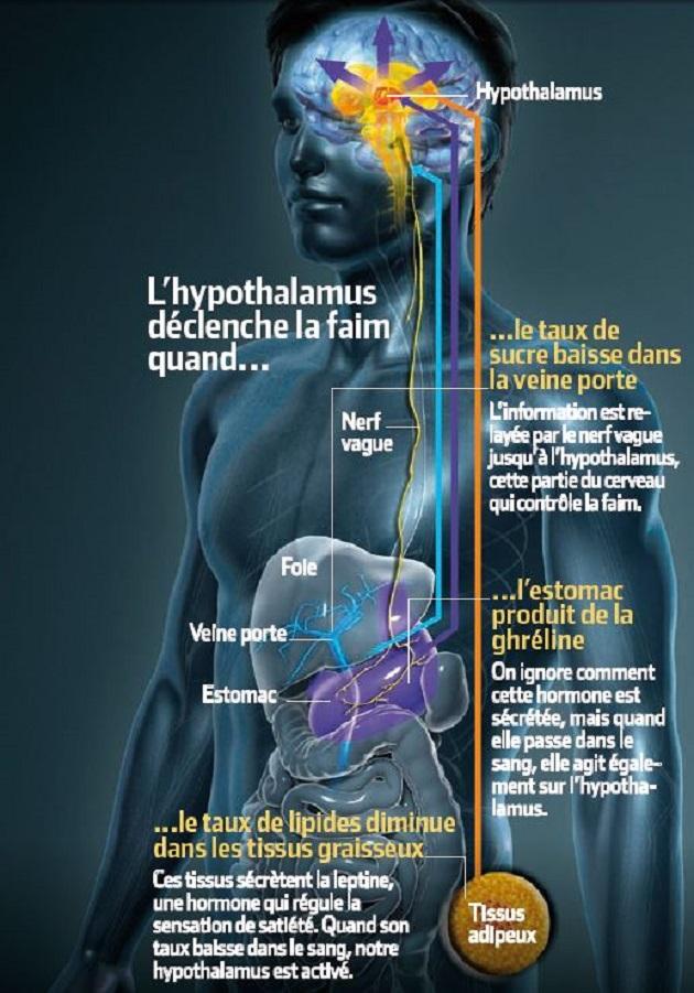L'hypothalamus déclenche la faim quand le taux de sucre baisse dans la veine porte, quand l'estomac produit de la ghréline ou quand le taux de lipides diminue dans les tissus graisseux. / Infographie : S&V