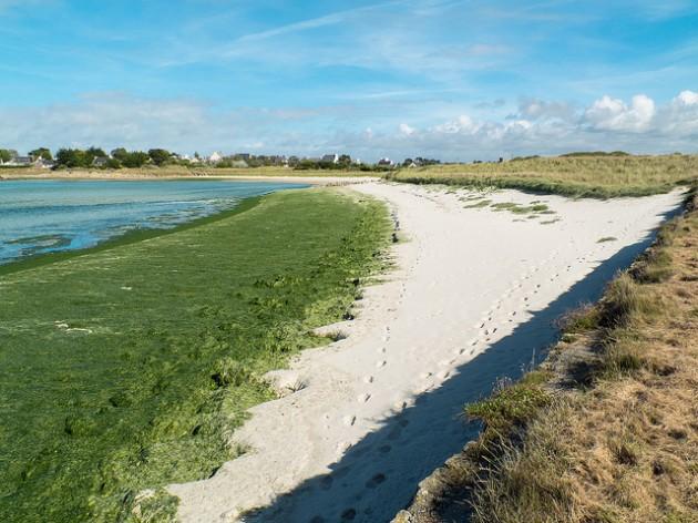 Une plage bretonne couverte d'algues vertes
