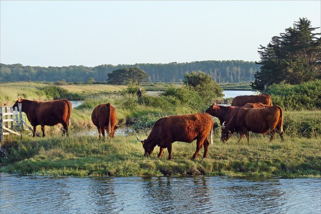 Un troupeau de vaches dans le Marais d'Olonne / Ph. dalbera via Flickr - CC BY 2.0