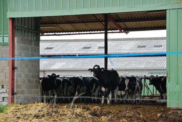 Des vaches laitières dans une ferme industrielle. La ferme des mille vaches en contiendra jusqu'à 500. / Ph. Stéphane Mignon via Flickr - CC BY 2.0