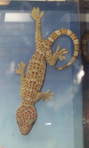 Un gecko tokay (Hexasoft via Wikicommons)