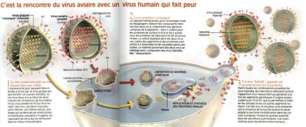 Voici comment le virus de la grippe aviaire peut se recombiner avec le virus de la grippe humaine. / S&V n°1049