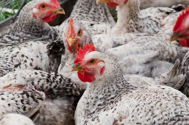Un élevage de poules / Ph. USDAgov via Flickr - CC BY 2.0