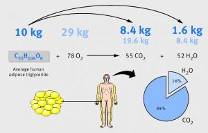 """Graphe représentant la transformation de 10 kg de graisses (et 29 kg d'oxygène). La seconde ligne résume l'équation chimique. Le """"camembert"""" représente les pourcentages."""