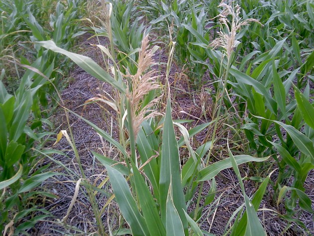 Du maïs Roudup-ready, génétiquement modifié pour être  résistant à l'herbicide glyphosate / Ph. Di Maggilautaro [CC BY-SA 3.0], via Wikimedia Commons