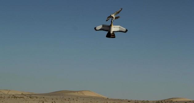 Un faucon gerfaut attaquant un Robara, un drone qui se veut une parfaite imitation de sa proie, la outarde houbara. / Ph. © Wingbeat 2014