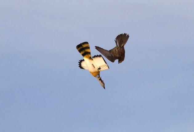 Un faucon pèlerin fuse en vol piqué sur un Robara / Ph. © Wingbeat 2014