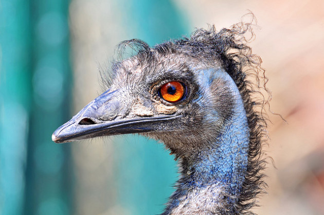 Des biologistes pensent avoir trouvé les gènes qui donnent leur bec aux oiseaux. Ici, un émeu dans un zoo suisse. - Ph. Tambako via Flickr - CC BY SA