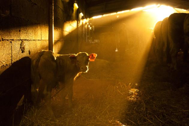Dans les élevages, les veaux sont le plus souvent séparés précocement de leur mère... au détriment de leur bien-être (Ph. LJ42 via Flickr CC BY 2.0)