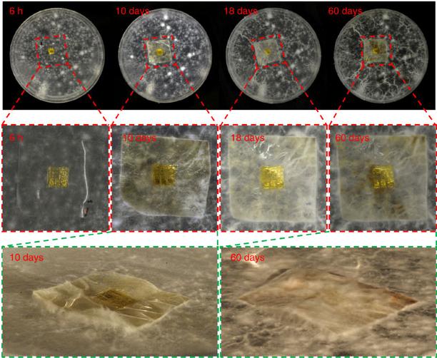 Photos prises respectivement 6h, 10 jours, 18 jours et 60 jours après le début de la dégradation biologique (Zhenqiang Ma, Nature communications)