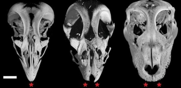 Le crâne avant éclosion d'un poulet normal (à g.), génétiquement modifié pour inhiber les gènes Fgf8 et Lef1 (au centre) et d'un alligator (à d.) - Ph. © Bhart-Anjan Bhullar.