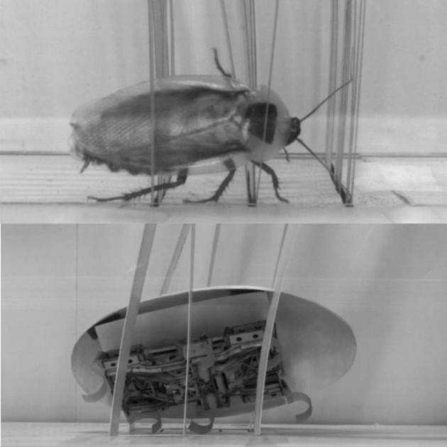 Grâce à la forme de son exosquelette, le cafard peut pivoter sur son axe pour surmonter un obstacle. Le robot aussi (Chen Li, UC Berkeley, CC BY-SA)