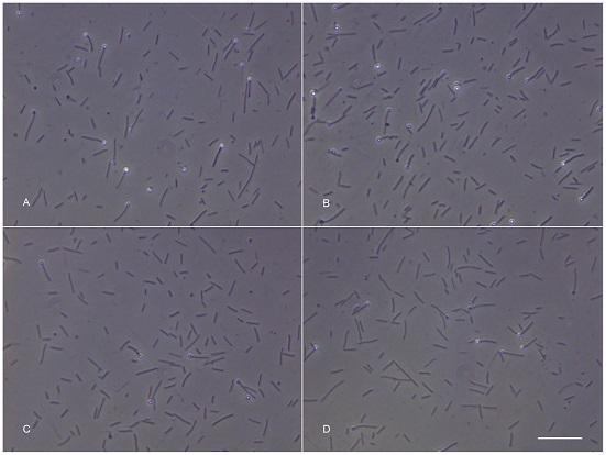 Les clichés A et B montrent les bactéries ayant effectué le voyage aller-retour vers l'espace, les deux autres sont des échantillons de contrôle (PLOS ONE)