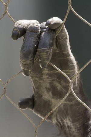 La main du chimpanzé possède de long doigts et un pouce court. / Ph. Michele W via Flickr - CC BY SA