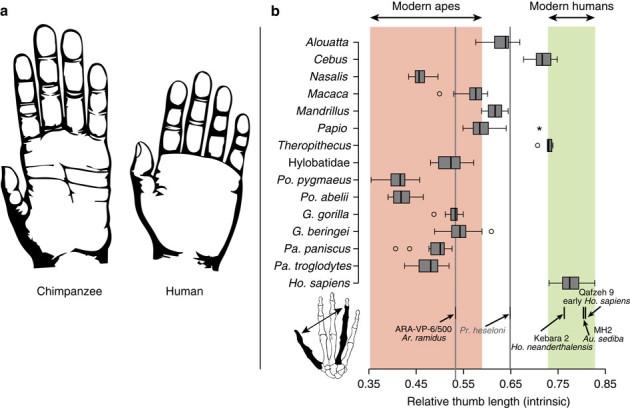 La main d'un chimpanzé à gauche, celle d'un homme à droite. Dans le schéma, les résultats pour différentes espèces de grands singes, du rapport entre pouce et quatrième doigt. / Nature Communications - CC-BY-SA.