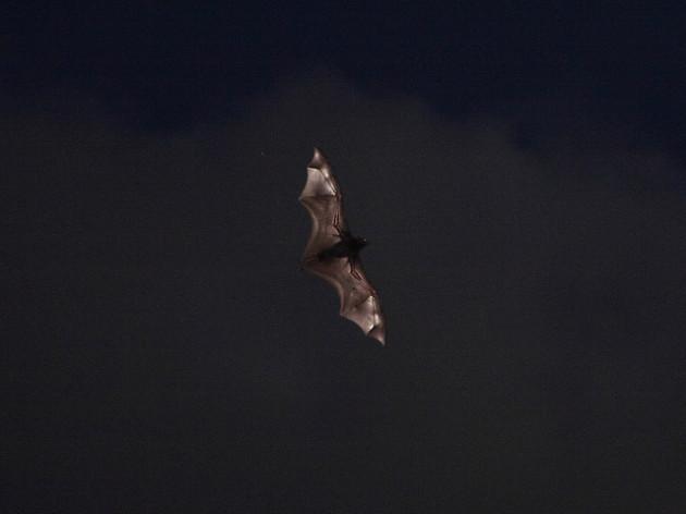La pollution lumineuse perturbe les relations proies-prédateurs des chauve-souris (ici, une roussette). - Ph. Steve Garner/Flickr/CC-BY 2.0