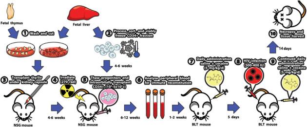 Voici le protocole suivi par les chercheurs. Après avoir greffé les souris avec des cellules souches reproduisant un système immunitaire humain, les chercheurs leur ont administré de la cocaïne ou une solution saline pendant cinq jour. Ensuite, les souris ont reçu une injection de virus du sida, puis à nouveau la cocaïne ou la solution saline pendant 14 jours. Enfin, les souris ont été sacrifiées et leurs organes analysés. - Ph. © Scientific Reports