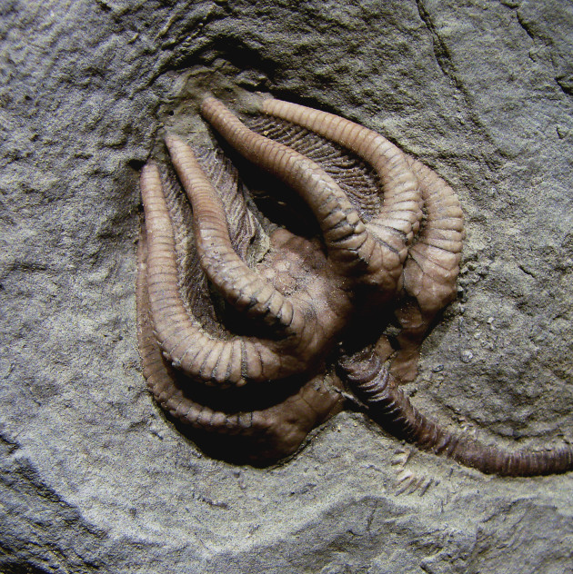 La fossilisation d'un organisme vivant est un processus long et complexe qui doit bénéficier de conditions favorables. Ici, une crinoïde fossilisée (Ph. Vassil via Wikicommons CC BY-SA 3.0)