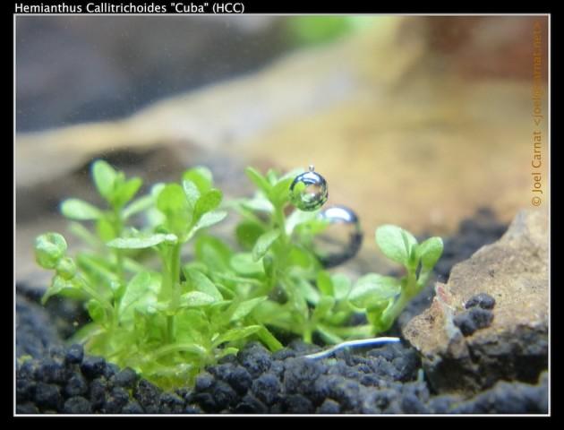 La plante aquatique Hemianthus Callitrichoides (ou HC) en train de produire de l'oxyène (Ph. Carnat Joel via Flickr CC BY 2.0).