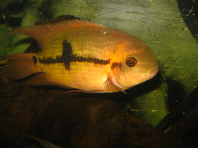 Le cichlidé émeraude est la une espèce de poisson dont la reproduction est basée sur l'inceste (Ph. Christie via Flickr CC BY 2.0).