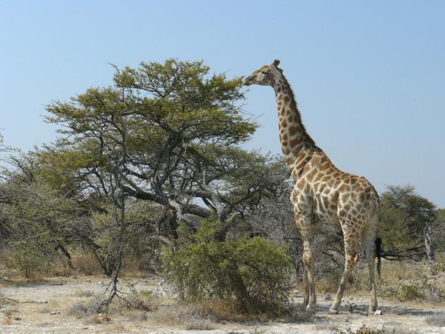 Des chercheurs ont retracé l'histoire de l'allongement du cou de la girafe (Ph. Frank Vassen via Flickr CC BY 2.0).