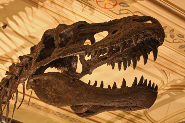 Le crâne d'un Tirannosaurus rex conservé au Muséum d'histoire naturelle de Londres - Ph. Gareth1953 / Flick / CC BY 2.0