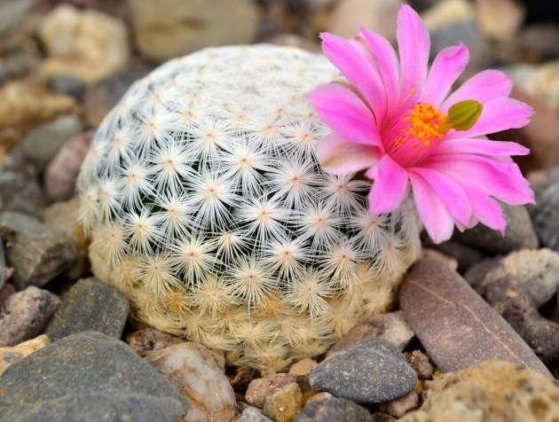 Renommés pour leurs magnifiques fleurs, les cactus sont parmi les espèces les plus menacées de la planète. Ici, un Mammillaria herrerae du jardin botanique de Cadereyeta, au Mexique. - Ph. Jardín Botánico Regional de Cadereyta