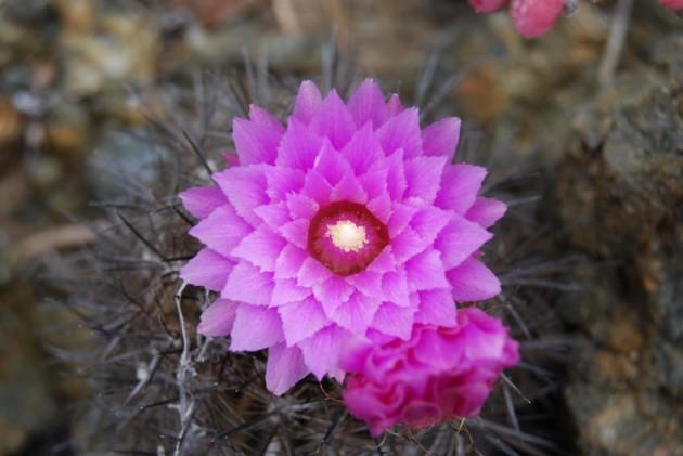 La fleur d'Eriosyce chilensis, un cactus originaire du Chili. - Ph. PAblo C. Guerrero.
