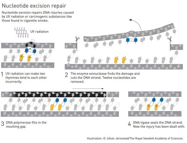 Le mécanisme de réparation de l'ADN suite à une mutation provoquée par des cancérigènes, comme les UV.