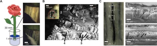 Schéma de l'expérience et clichés microscopiques des canaux de xylème contenant le polymère conducteur