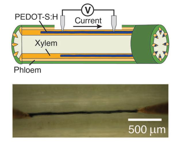 Test des propriétés conductrices d'un canal de xylème rempli de polymère (Ove Nilsson et al., Sci Adv 2015).