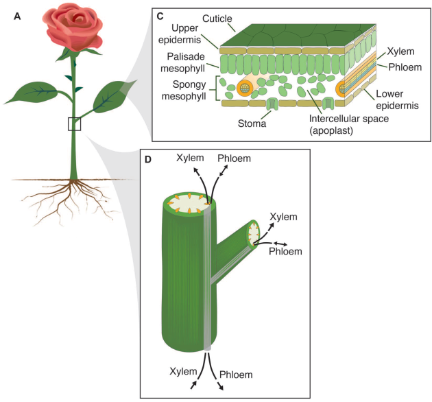 Le système de vaisseaux naturel de la rose (ici représentée avec ses racines). B- Zoom sur la structure des vaisseaux de la tige où apparait notamment un canal de xylème. C-  Zoom sur la structure d'une feuille. C'est par ces canaux (et d'autres) que le polymère conducteur est absorbé (Ove Nilsson et al., Sci Adv 2015).