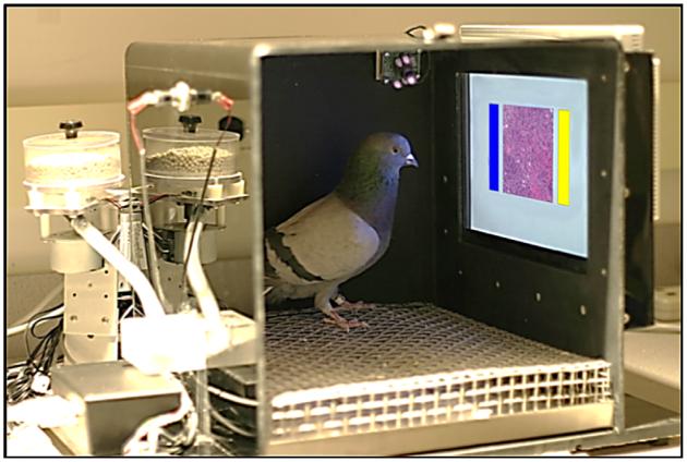 Dispositif conçu par les chercheurs afin de tester l'aptitude des pigeons à identifier la présence de formations cancéreuses (© 2015 Levenson et al. PLOS ONE)