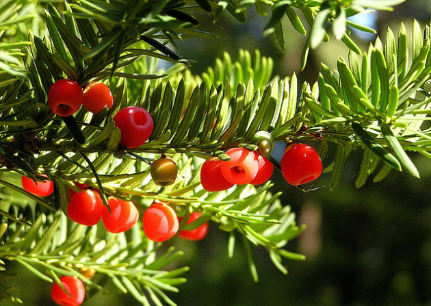 Les arilles de l'if (délicieuse mais à la graine très toxique) sont normalement l'apanage des arbres de sexe féminin. -Ph. Liz West / Flickr / CC BY SA 2.0