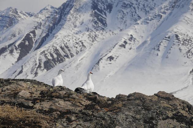 Un couple de lagopèdes dans leur plumage blanc d'hiver. - Ph. alaskanps / Flickr / CC BY 2.0