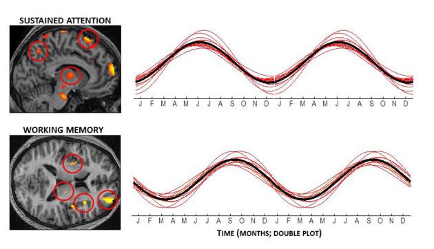 Courbes de l'activité cérébrale en fonction des mois pour les deux types de tâches demandées : attention soutenue et mémoire de travail (C. Meyer et al., PNAS 2016)