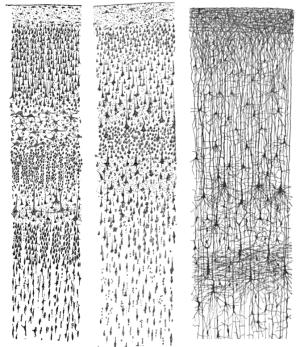 L'organisation des neurones dans le cortex cérébral. - Image : dessin du prix Nobel 1906 Santiago Ramon y Cajal / domaine public / Wikimedia Commons.