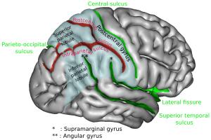 La position du gyrus angulaire (ici, le droit) est signalé par deux astérisques (Ph.Sebastian023 via Wikicommons CC BY-SA 3.0).