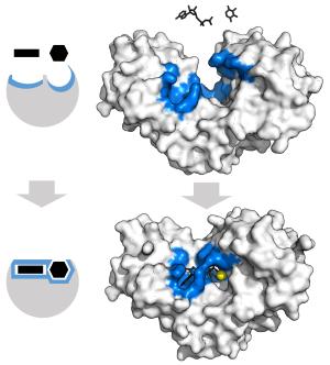 """Une enzyme est une """"machine moléculaire"""" capable de capter des molécules et les """"souder"""" (image) ou, au contraire, de casser une grande molécule (Thomas Shafee via Wikicommons CC BY-SA 4.0)."""