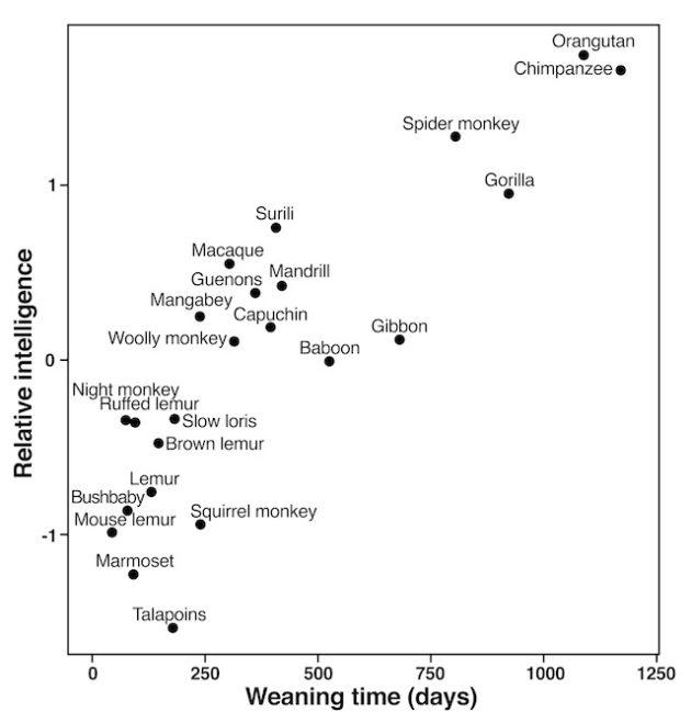 Plus l'âge du sevrage d'un petit est élevé, plus les adultes de son espèce sont intelligents - Ph. Piantadosi & Kill / PNAS