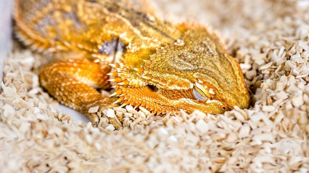 Le sommeil paradoxal, où se déroulent les rêves, n'avait jamais été relevé chez un reptile, comme cet agame barbu. - Ph. Stephan Junek, Max Planck Institute for Brain Research