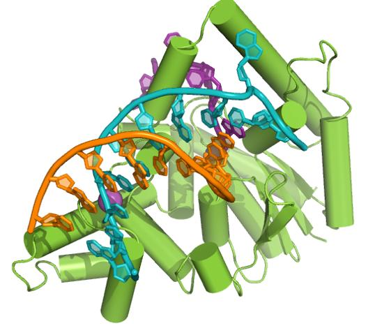 """L'ADN ramifié est visible sur les deux filaments, orange et turquoise. Il est """"taillé"""" par les enzymes, représentées en vert. - Crédit : John Sayers, université de Sheffield (Angleterre)"""