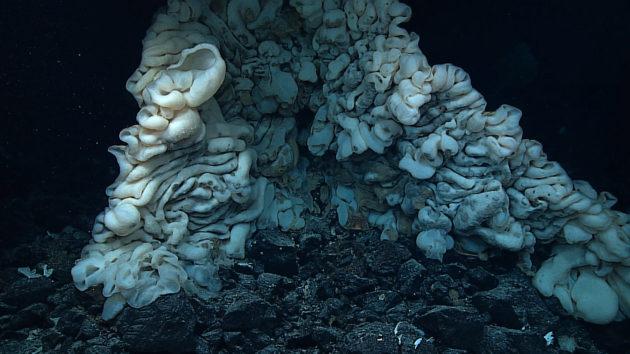 La plus grande éponge jamais observée mesure 3,5 mètres - Crédit : NOAA