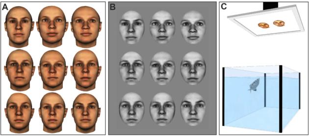Les deux types de tests effectués : à gauche visages légèrement retouchés, à droite forte homogénéisation. Dispositif expérimental (Newport, C. et al., Sci. Rep. 6, 2016).
