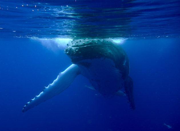 Une baleine à bosse (ph. Sylke Rohrlach, via Flickr CC BY 2.0)