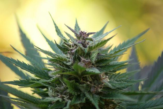 Quand est-ce que le cannabis a-t-il été domestiqué ? Quand sa consommation s'est-elle diffusée ? Des chercheurs ont trouvé la réponse (Ph. Martjin via Flickr CC BY 2.0).